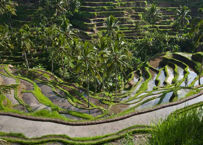 Rice Terrace At Tegalalang Village Beautiful Stunning Rice Terrace - Place Interest in Bali