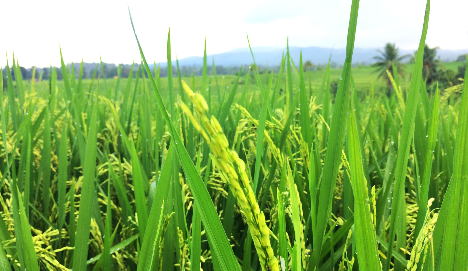 Bali Rice Field - Bali Tours Activities